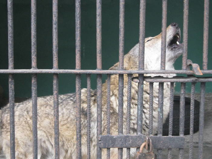 Волк в неволе