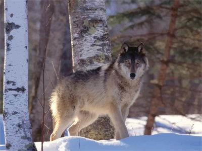 Чем питается волк: среда обитания, питание, выведение потомства